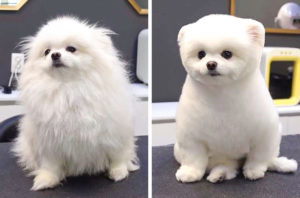 The Pomeranian teddy