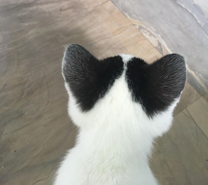 heart eared kitten